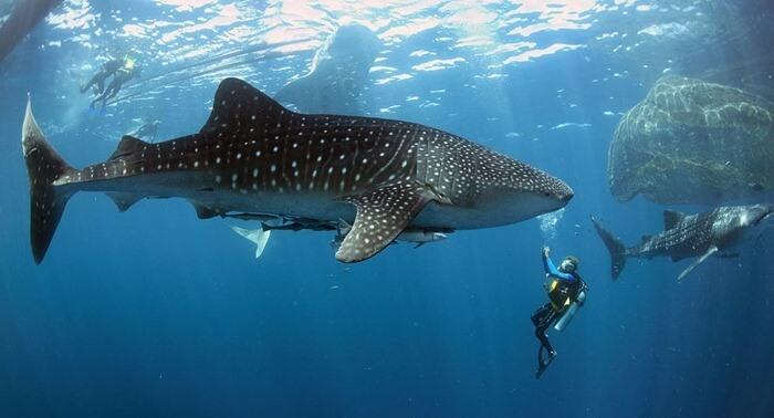 Китовая акула – самая большая рыба в мире
