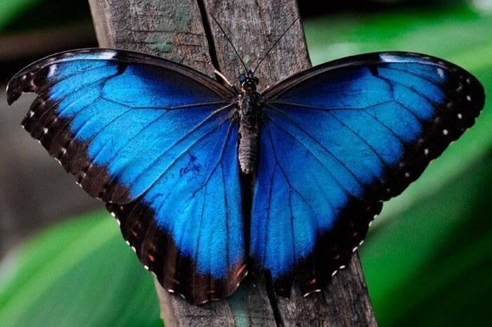 голубой морфо Менелая