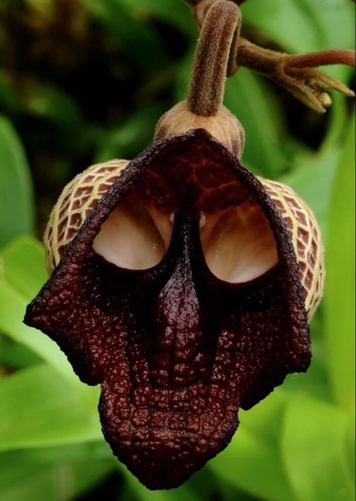 Aristolochia Salvadorensis – самый необычный цветок в мире