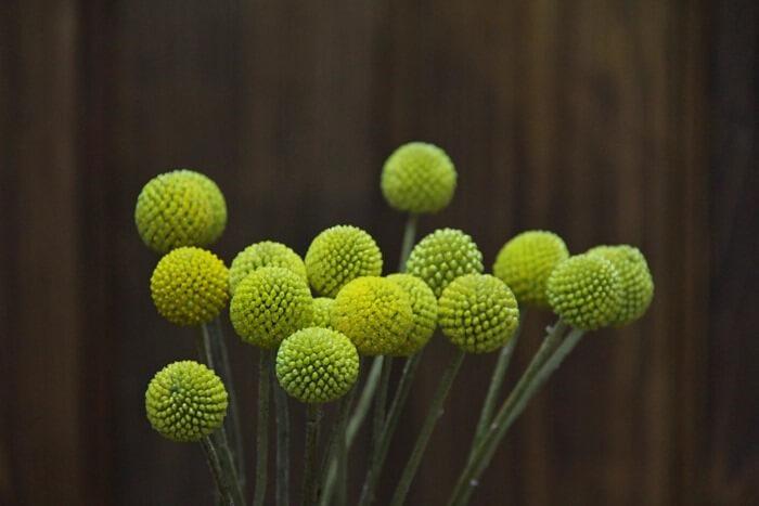Craspedia globosa – цветок словно с картинки