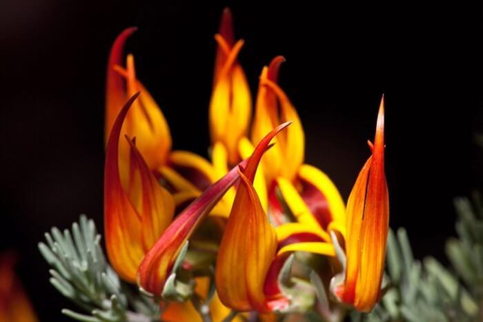 Lotus berthelotii – необычайно красивый цветок