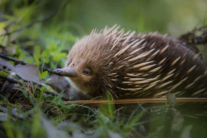 Австралийская ехидна – смешное животное