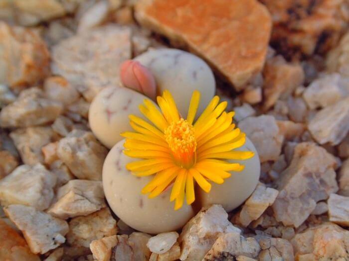 Lithops species – цветущий камень