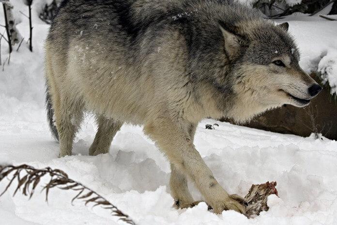 3_2_o-wolves-eating-facebook