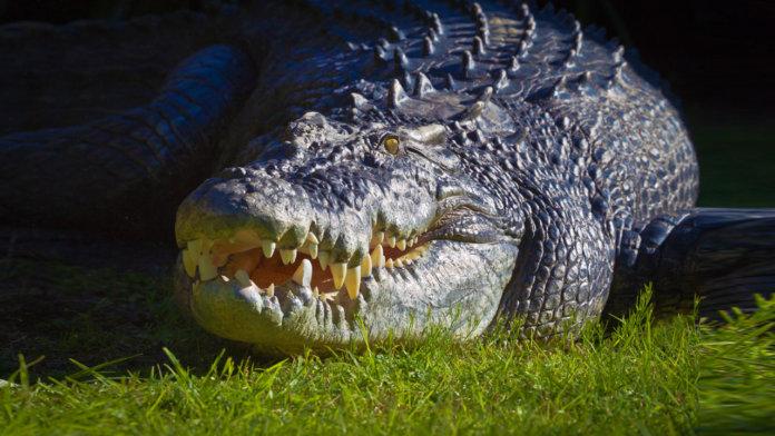 Крокодил Густав
