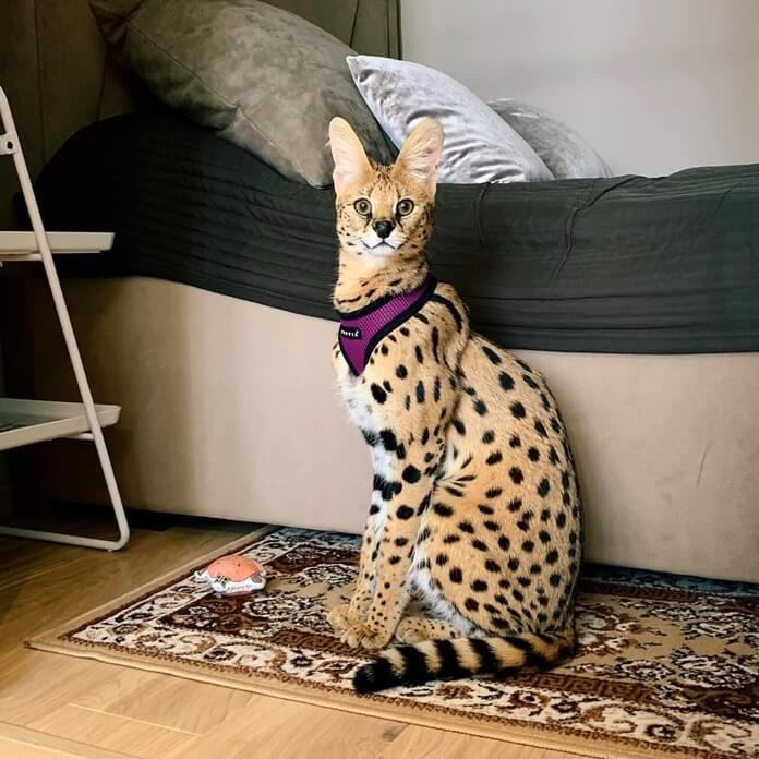 Саванна – самая большая кошка в мире