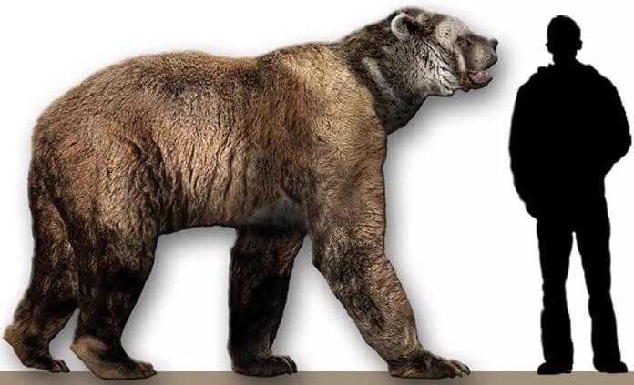 Arctodus simus – самый крупный, высокий и тяжелый медведь в истории
