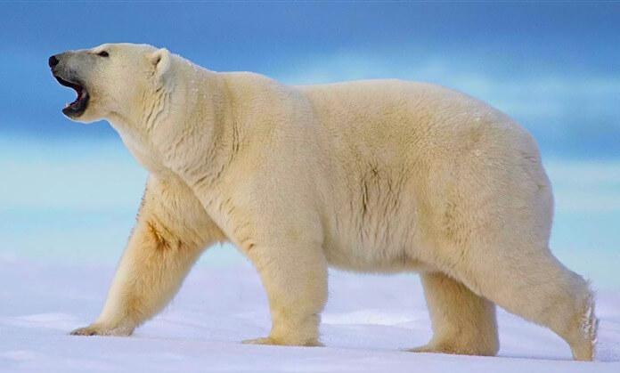 Белый Полярный медведь – самый большой в мире