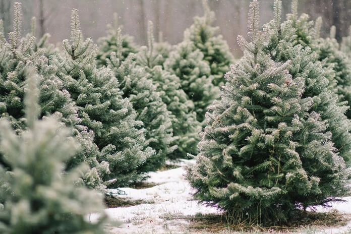 Живая елка – лучшая идея подарка на новый год