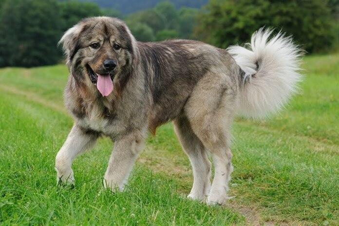 Кавказская овчарка – лучшая сторожевая порода собак