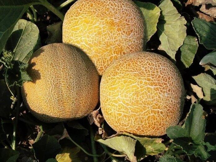 Колхозница – самый сладкий сорт дыни