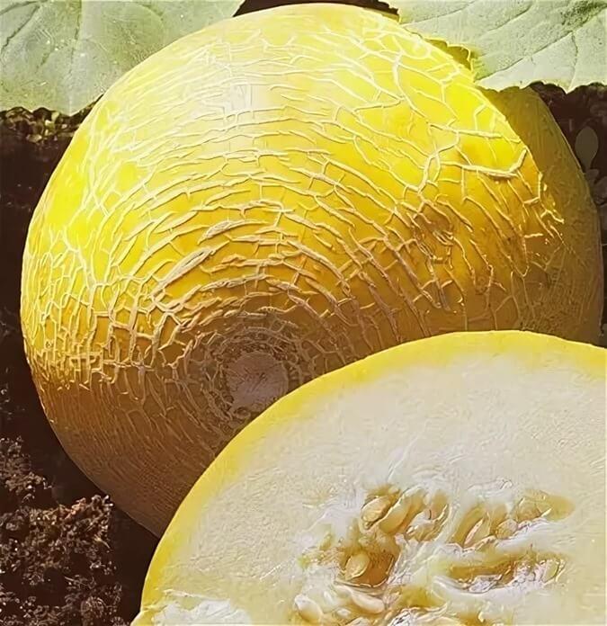 Герда F1 – лучший сорт дынь для выращивания в теплице