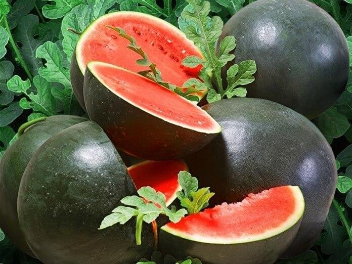 Шуга Бейби - лучший сорт арбузов для выращивания в Подмосковье