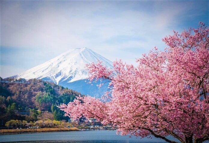 Япония, цветение сакуры в мае