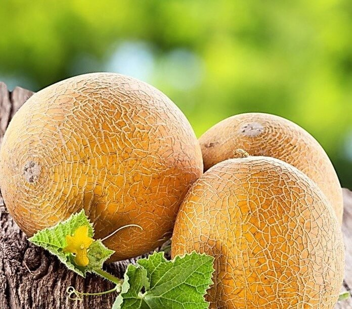 АйкидоF1 – лучший сорт дыни для Сибири и Урала