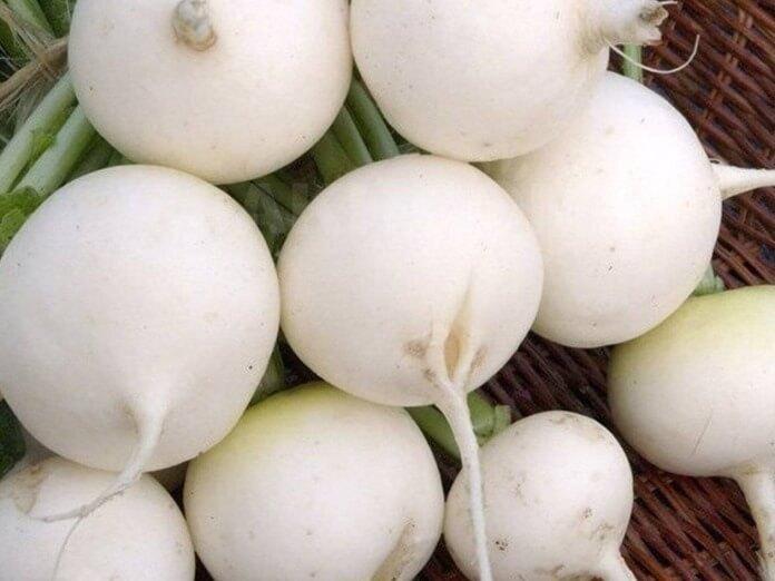 Моховский - лучший белый сорт редиса
