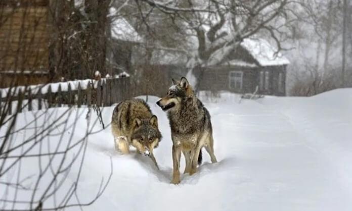 Страх встречи с волками